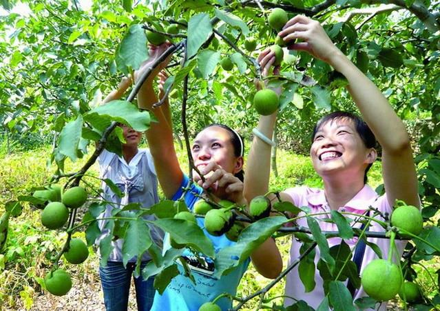 树叶煮水熏洗有杀菌和治疗芥癣的作用,核桃树根煮水可治疗便秘,青核桃
