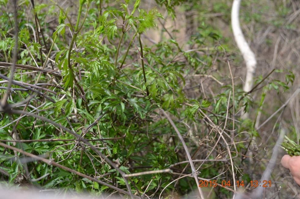 花椒树的特点